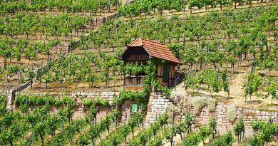 12. Weinwandertag in Hedelfingen